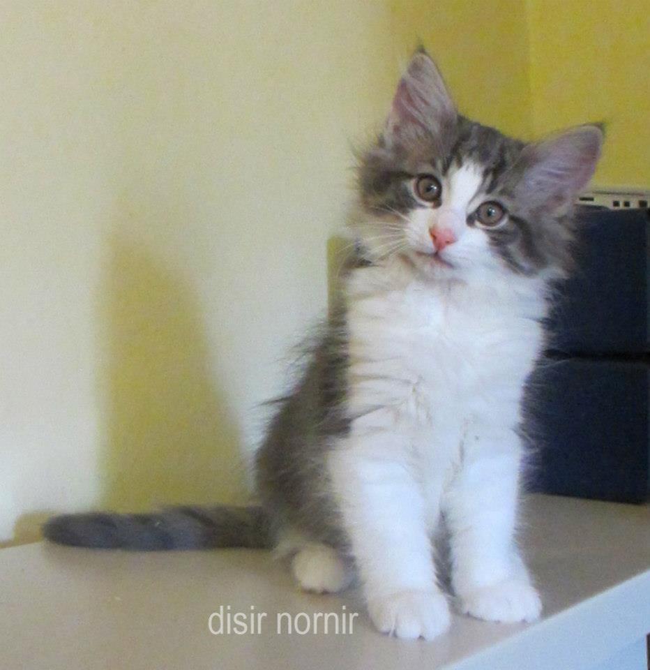 Cuccioli Gatti Norvegesi Da Allevamento Disponibili A Parma Emilia